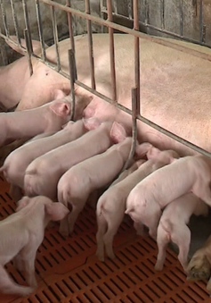 Lợn giống tăng giá gấp 3 - 4 lần
