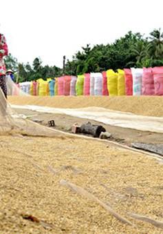Giá lúa tại ĐBSCL tiếp tục giảm