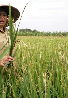 Hà Tĩnh: Lập hội đồng truy nguyên nhân gây mất trắng 9.000ha lúa