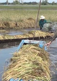 Xúc động hình ảnh bộ đội cùng nông dân Long An gặt lúa chạy lũ