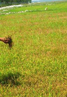 Quảng Bình: Hơn 1.000ha lúa nhiễm rầy lưng trắng