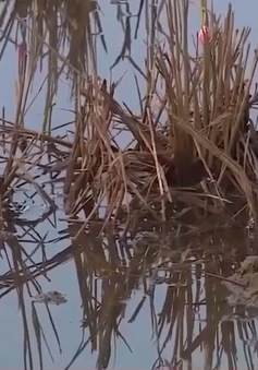 Nông dân Quảng Trị khẩn trương phòng bệnh lùn sọc đen trước vụ Đông Xuân