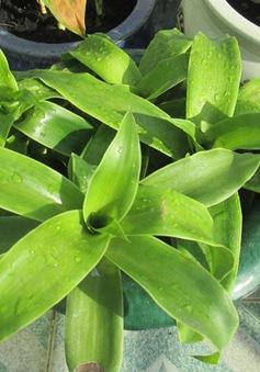 Những công dụng chữa bệnh tuyệt vời của cây lược vàng