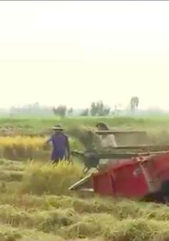 Đồng Tháp: Nguy cơ tai nạn từ việc chạy theo máy gặt lúa