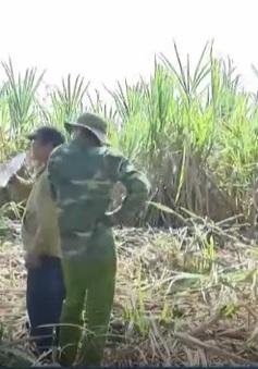 Phú Yên: Nông dân gặp khó do thu hoạch mía muộn