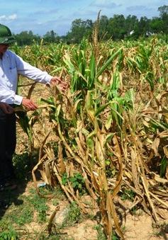 Lào Cai: 2.000 ha ngô bị ảnh hưởng do nắng nóng