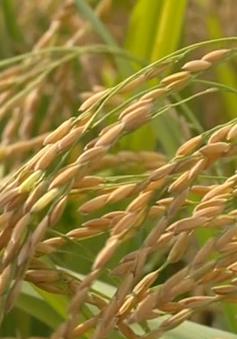 Cần một tầm nhìn mới để phát triển ngành lúa gạo Việt Nam