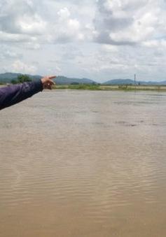 Đăk Lăk: Hoa màu bị thiệt hại do mưa lớn