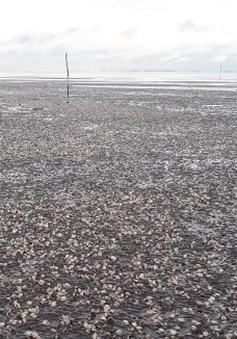 Tìm nguyên nhân hải sản chết bất thường ở Kiên Giang