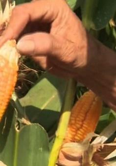 Việt Nam không trồng ngô ngọt biến đổi gen