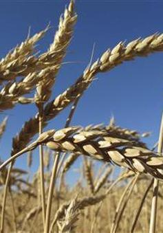 Xuất khẩu ngũ cốc của Ukraine có thể giảm lần đầu tiên trong 5 năm