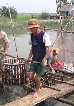 Giá cá lóc tăng nhưng người nuôi vẫn lỗ