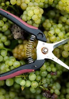 Pháp: Nạn trộm nho ở Bordeaux gia tăng khi thu hoạch thất bát