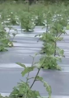 Quảng Trị: Còn nhiều vướng mắc phát triển nông nghiệp công nghệ cao