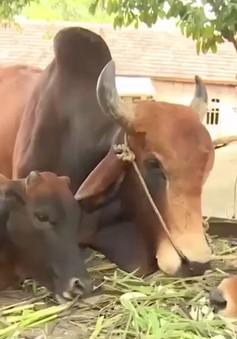 Đồng bào dân tộc thiểu số thoát nghèo bền vững từ nuôi bò lai