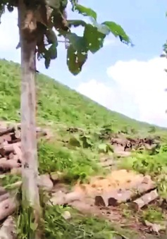 """""""Đại công trường"""" khai thác gỗ giữa rừng, không ai giám sát"""