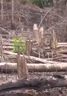 Lại phát hiện vụ phá rừng phòng hộ tại Quảng Ngãi