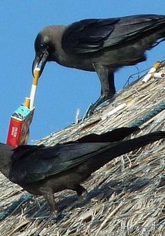 Huấn luyện quạ nhặt đầu lọc thuốc lá