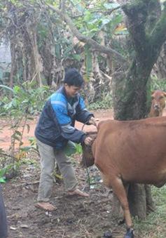 Gia tăng bệnh lở mồm long móng ở Quảng Trị