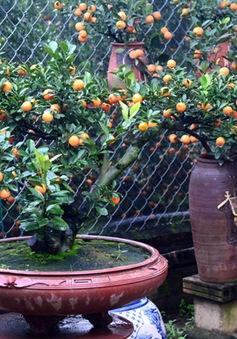 Xu hướng chơi quất bonsai ngày Tết