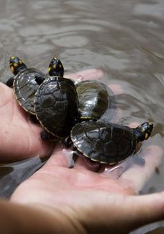 Peru thả 5.000 con rùa ấp nở nhân tạo về rừng Amazon