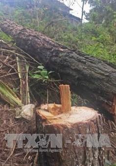 Rừng thông nội ô Đà Lạt liên tục bị triệt hạ