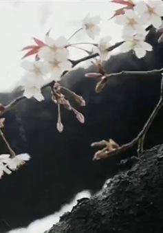 Mùa hoa anh đào Nhật Bản chính thức bắt đầu tại Tokyo