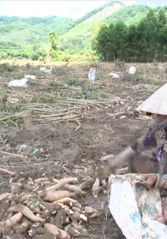 Nghệ An: 300 hecta sắn không ai mua