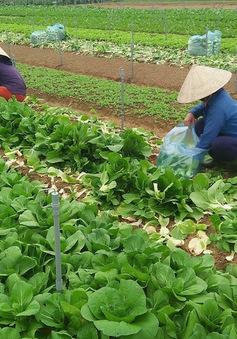 Gia tăng sản xuất đảm bảo nguồn cung rau xanh sau mưa lũ
