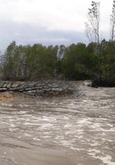 ĐBSCL mất nhiều diện tích rừng phòng hộ vì sạt lở