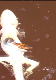 Sốc với hình ảnh giòi bọ, côn trùng chết trong bể làm mắm tôm bẩn