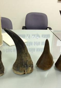 Hải quan Nội Bài truy tìm chủ của 50 kg sừng tê giác