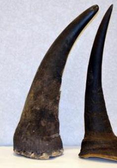 Hải quan Tân Sơn Nhất bắt vụ vận chuyển trái phép 1,5 kg sừng tê giác