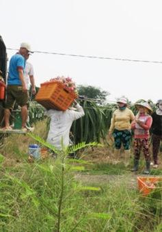 Giá thanh long đầu vụ chong đèn ổn định, người trồng phấn khởi
