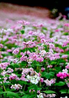 Vẻ đẹp ấn tượng của hoa tam giác mạch trên phố núi Đà Lạt