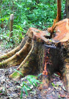 """Rừng tự nhiên tiếp tục """"chảy máu"""" bất chấp lệnh đóng cửa của Thủ tướng"""