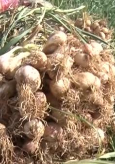 Người trồng tỏi thu nhập cả tỷ đồng trên đảo Lý Sơn