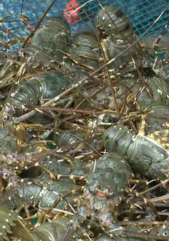 Tôm hùm giống đầu vụ thấp vì ngư dân không còn vốn thả nuôi