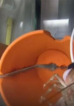 Sử dụng tôm càng để kiểm tra độ tinh khiết của nước