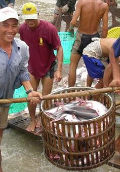 Giá cá tra tăng kỷ lục trong vòng 7 năm qua