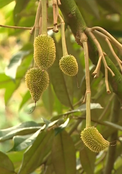 Đã trị bệnh được hơn 400ha sầu riêng tại Đăk Lăk