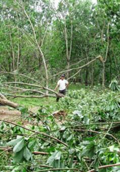 Quảng Trị: Nhiều rủi ro trong việc trồng cây cao su ở vùng thiên tai