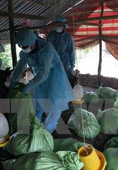 Xuất hiện ổ dịch cúm gia cầm A/H5N1 tại Cần Thơ