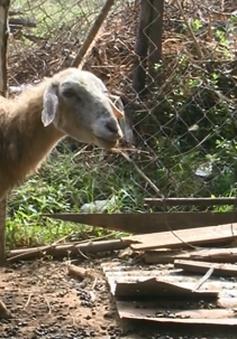 Cừu chết hàng loạt tại Ninh Thuận