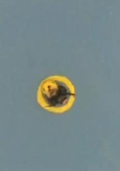 Khoa học chứng mình ong vò vẽ biết chơi bóng đá