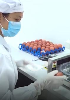 Nghiêm ngặt quy trình sản xuất trứng gà theo tiêu chuẩn quốc tế