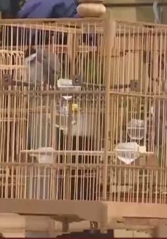 Thú chơi chim chào mào ở Huế