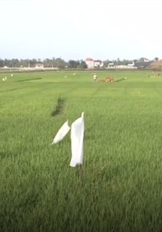 Bùng phát nạn chuột cắn phá lúa ở Ninh Bình