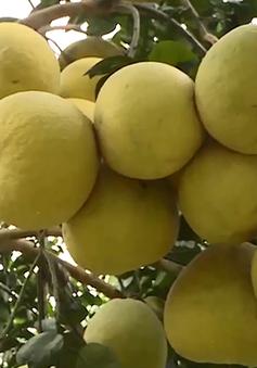 Thành công trong mô hình trồng bưởi sử dụng phân bón hữu cơ