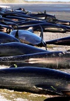 Giải cứu cá voi mắc cạn tại New Zealand